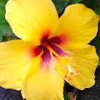 hibiscus favicon